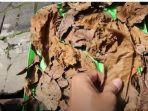 cara-cepat-membuat-ekstrak-daun-ketapang-yang-sudah-difermentasi-perhatikan-tulang-daun.jpg