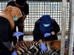 dokter-hewan-saat-melakukan-pemeriksaan-medis-kepada-harimau-sumatera.jpg