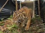 harimau-pasbar.jpg