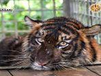 harimau-sumatera-bernama-putri-singgulung-saat-berada-di-pusat.jpg