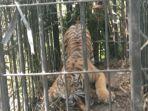 harimau-sumatera-saat-berada-di-dalam-perangkap-besi.jpg