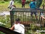 harimau-sumatera-tertangkap-di-korong-surantiah-koto-buruak-nagari-lubuk-alung.jpg