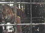harimau-sumatera-yang-tertangkap-di-nagari-gantung-ciri.jpg
