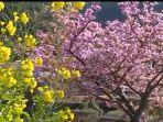 ilustrasi-bunga-sakura-jepang-di-semenanjung.jpg