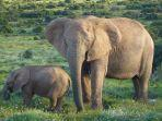 ilustrasi-gajah.jpg