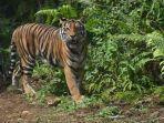 ilustrasi-harimau-sumatera-2.jpg