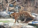 ilustrasi-seekor-harimau-yang-berada-di-dalam-kawasan.jpg