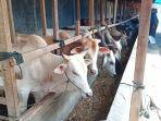 penjualan-hewan-kurban-sapi-meningkat-jelang-idul-adha-di-padang.jpg