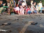 proses-pelepasan-tukik-di-pantai-pasir-jambak-padang-sabtu-662020.jpg