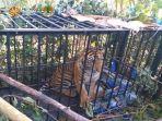 satu-ekor-satwa-liar-yang-dilindungi-yaitu-harimau-sumatera.jpg