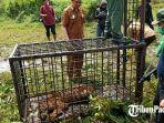 seekor-harimau-sumatera-dievakuasi.jpg