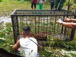 seekor-harimau-sumatera-tertangkap-di-korong-surantiah-koto-buruak-senin-13-juli-2020.jpg