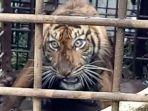seekor-harimau-tertangkap-di-rimbo-cimoneang-nagari-gantung-ciri.jpg