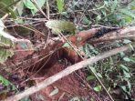 seekor-kucing-emas-terjerat-di-jorong-sungai-dareh-nagari-pauh-kabupaten-agam.jpg