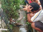 seekor-ular-piton-dengan-perut-buncit-ditemukan-warga-di-lubuk-begalung-kota-padang.jpg