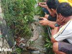 seekor-ular-piton-perut-buncit-ditemukan-warga-di-lubuk-begalung-kota-padang-sumatera-barat.jpg