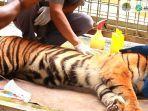 sepasang-harimau-bersaudara-satu-induk-bernama-putra-singgulung.jpg