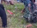 tangkapan-layar-warga-menangkap-seekor-babi-hutan-di-jalan-sitinjau-lauik-padang.jpg
