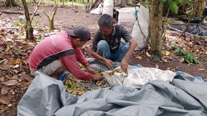 Petani Duku OKU Selatan Mulai Memasuki Musim Panen, Pedagang Jajakan di Pinggir Jalan