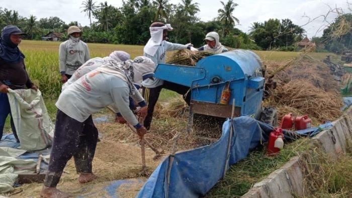 Gabah dan Beras OKU Timur Melimpah, Impor Beras Tidak Perlu, Harga Gabah Turun Petani Merugi