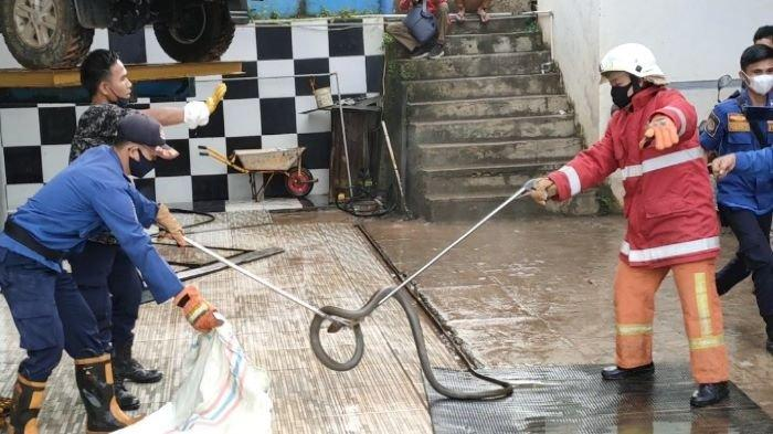 Ular King Kobra Bikin Panik Pegawai Kantor Dispora PALI, Evakuasi Sempat Menegangkan