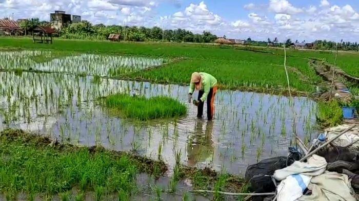 Food Estate Tiga Kabupaten di Sumsel Dimulai Mei Ini