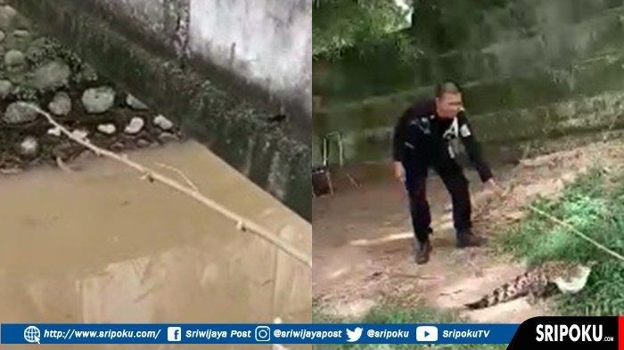 Anak Buaya Berukuran 1 Meter Ditangkap Sekuriti Pusri, Kembali Lepas di Sungai Musi Palembang