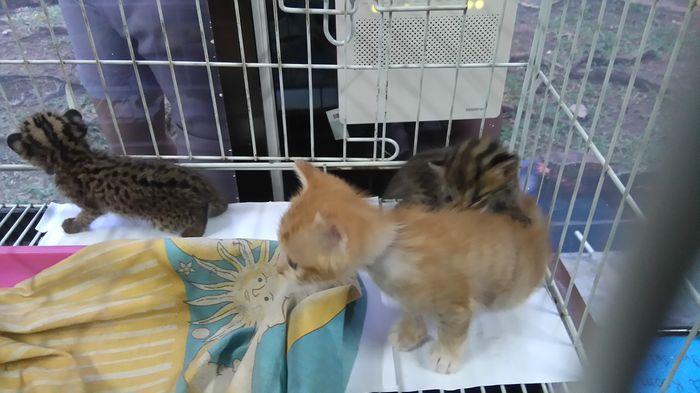 Ardi Jual Anak Buaya dan Kucing Hutan Via BBM