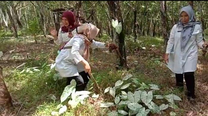 Pecinta Bunga di Kabupaten OKU Panen Keladi Tisu Putih yang Tumbuh Liar di Hutan