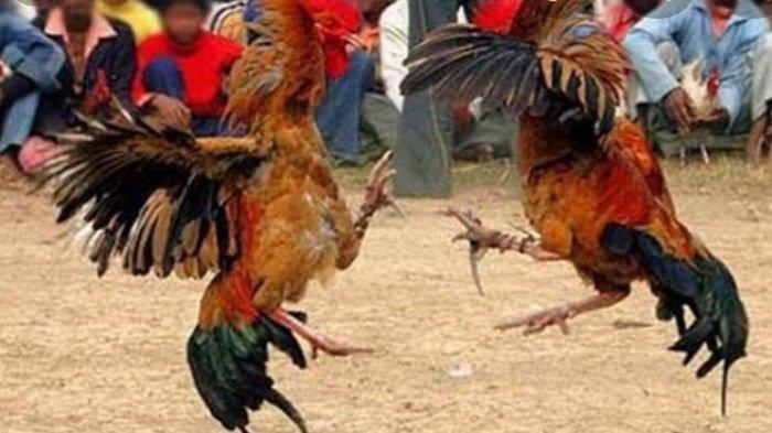 Basmi Penyakit Masyarakat , Polda Sumsel Lakukan Penggerebekan Judi Sabung Ayam