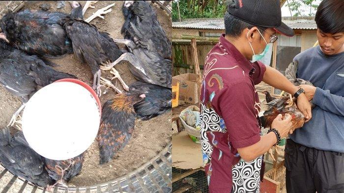 BREAKING NEWS: 400 Ekor Ayam di Sekojo Palembang Mendadak Mati, Positif Idap Flu Burung