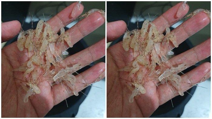 Tak Berizin, Penjual Benih Lobster di Musi Rawas Ditangkap: 70.000 Benih Lobster Disita