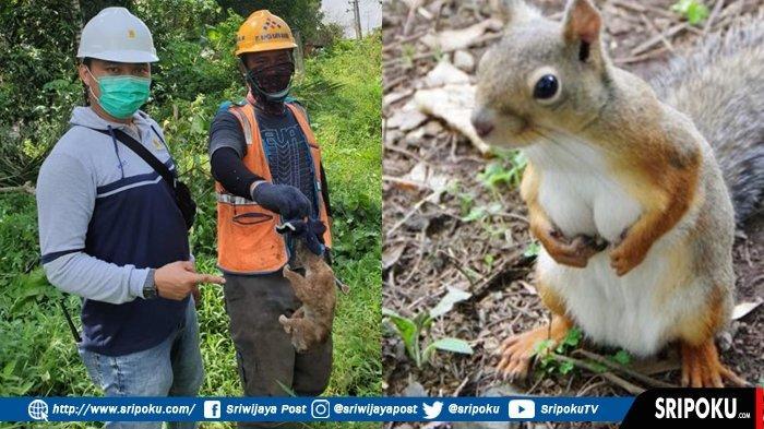 TUPAI Disalahkan PLN, Penyebab Utama Padamnya Listrik di Lubuklinggau, Ada Juga Kukang dan Monyet