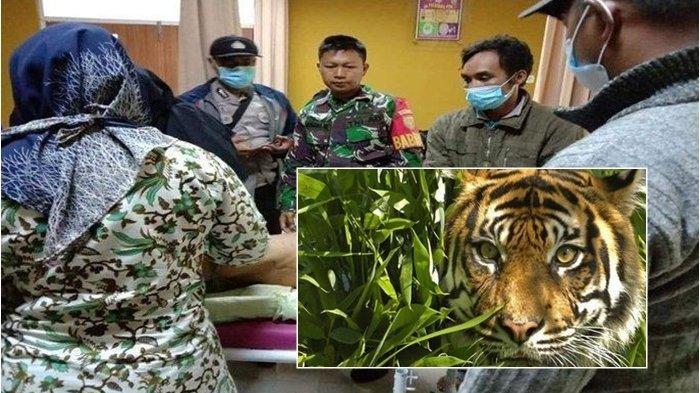 BREAKING NEWS:13 Kasus Teror Harimau di Pagaralam-Lahat,BKSDA Ungkap Fakta Baru Ada Wilayah Diganggu