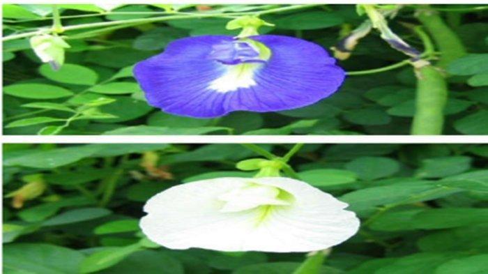 Klasifikasi Tanaman Bunga Telang, Cara Merawat hingga Hama yang Kerap Menyerang Bunga Telang