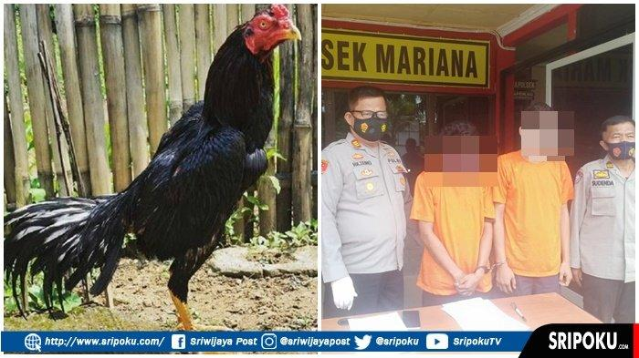 PRIA Ini Sendirian Mencuri 10 Ekor Ayam Bangkok di Mariana, 'Saya Terpaksa Pak untuk Mencari Makan'
