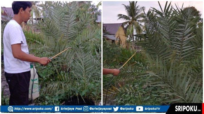 Warga Sekayu Ini Panen Pohon Kurma, Ada yang Berbuah Ditanam di Masjid, Dapat Bibit dari Thailand