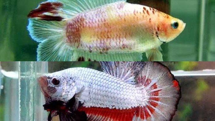 Inilah Jenis Jenis Ikan Cupang Termahal Di Dunia Ini Cara Budidaya Ikan Yang Habitat Di Indonesia Sriwijaya Post