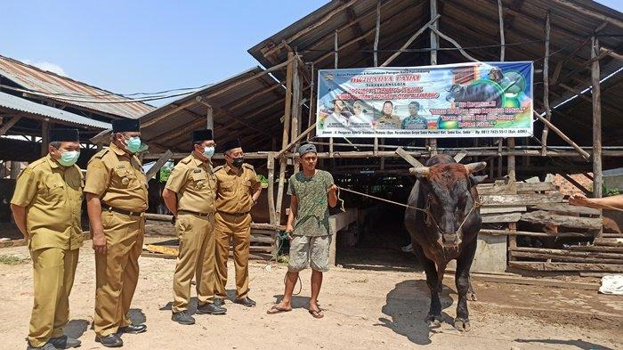 Simental 1,4 Ton, Sapi Herman Deru yang Akan Dikurbakan di Masjid Agung Palembang