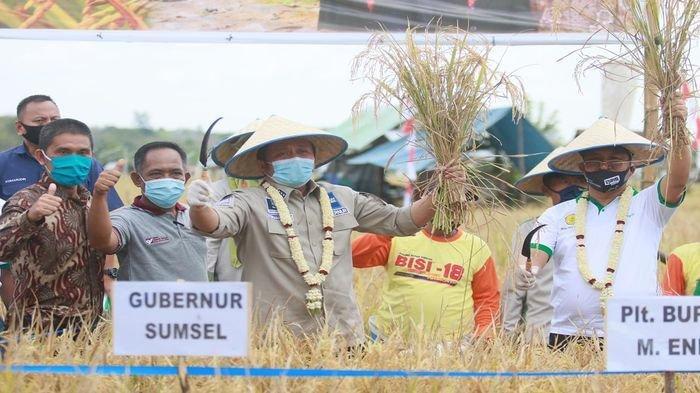 Genjot Produksi Beras, Herman Deru Panen Raya di Muaraenim