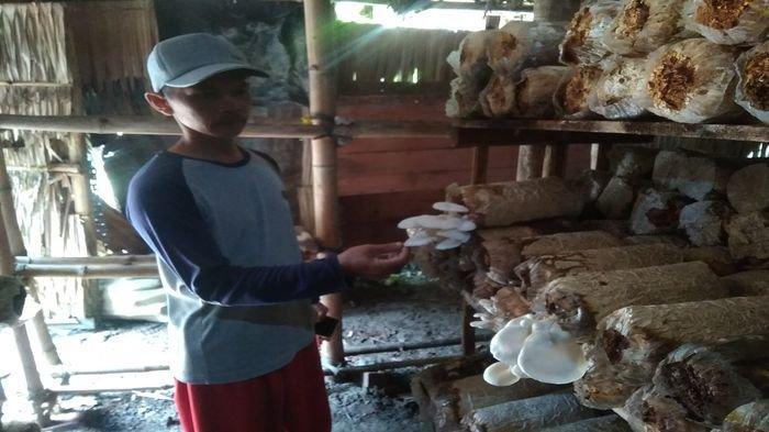 Melirik Budidaya Jamur Tiram di Ogan Ilir, Berdayakan Masyarakat Desa, Bertahan di Tengah Pandemi
