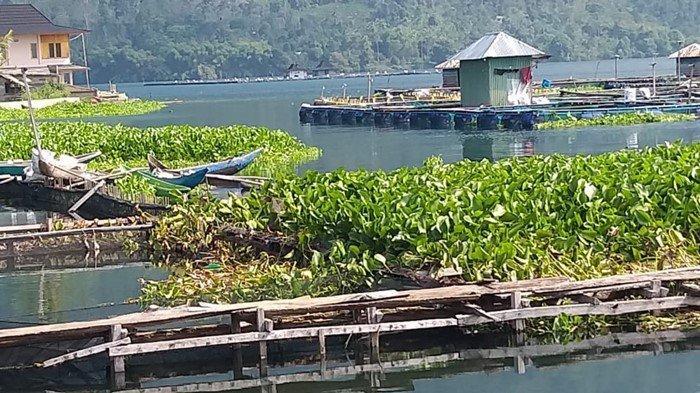 Bahaya Enceng Gondok, Tumbuh Cepat Sampai Ancam Perairan Danau Ranau OKU Selatan Hingga Lampung