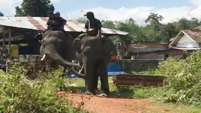 Evakuasi Gajah di OKU Selatan Masih Gagal Meski Gajah Pikat Didatangkan, Petugas Dirikan Tenda