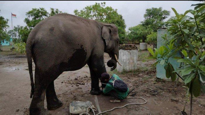 Evakuasi Gajah Liar di Mekakau OKU Selatan Dijadwalkan Seminggu: Sering Rusak Pondok dan Perkebunan