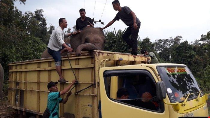 Sengketa Lahan Delapan Gajah di Lahat Dievakuasi