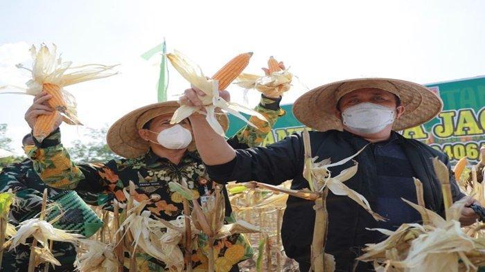 HD Panen Jagung di Kebun Percontohan Kodim 0406 Lubuk Linggau