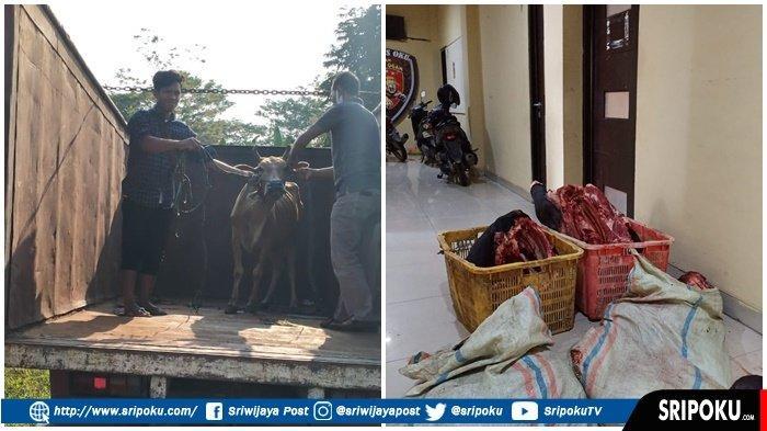 SAPI Langsung Dieksekusi Sembelih di Tempat, 7 Pencuri Ternak di OKU yang Bikin Resah Keok Ditembak