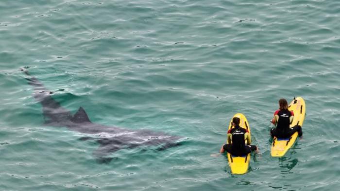 Hiu Besar Tertangkap Kamera Berenang di Sekitar Peselancar