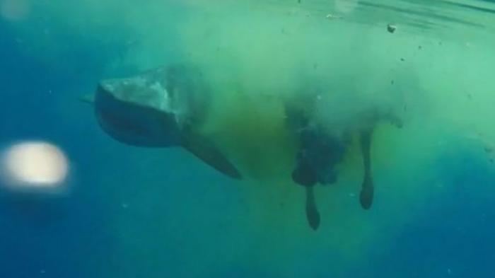VIDEO : Netizen Kaget, Makhluk Tak Terduga Jadi Mangsa Hiu di Video ini