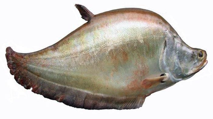 Ikan Belida atau Belido